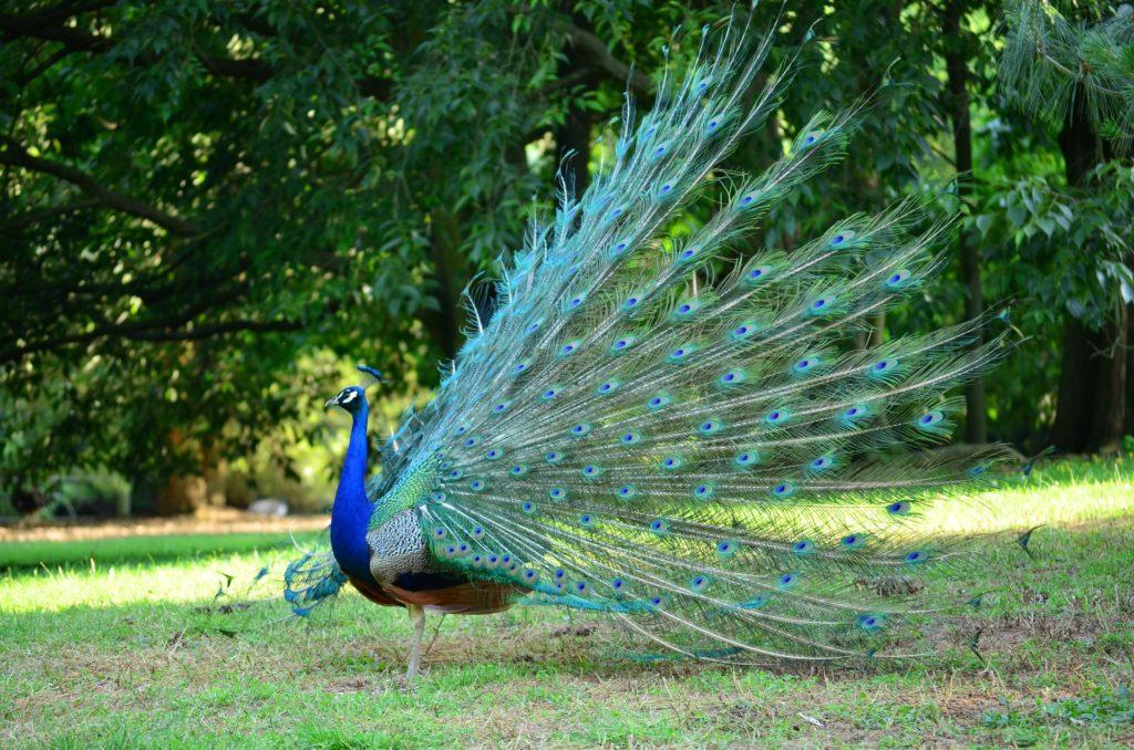 peacock-1144738_1920